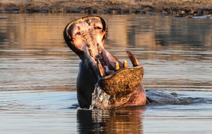 Hippo at Bomani, Hwange NP, Zimbabwe #imvelosafarilodges