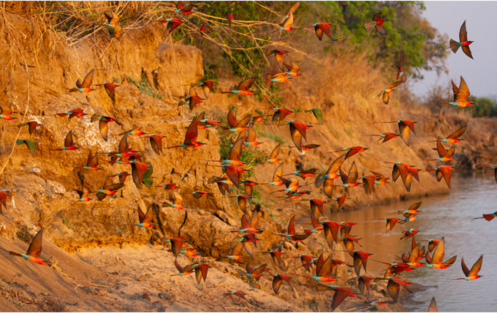 Carmine Bee Eaters from Tafika, South Luangwa, Zambia #remoteafrica