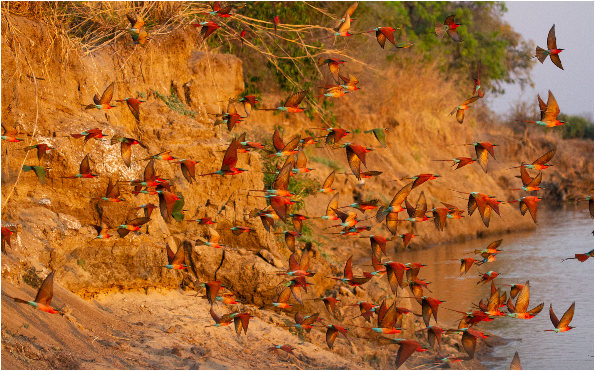 Carmine Bee Eaters from Tafika, South Luangwa, Zambia #remoteafrica