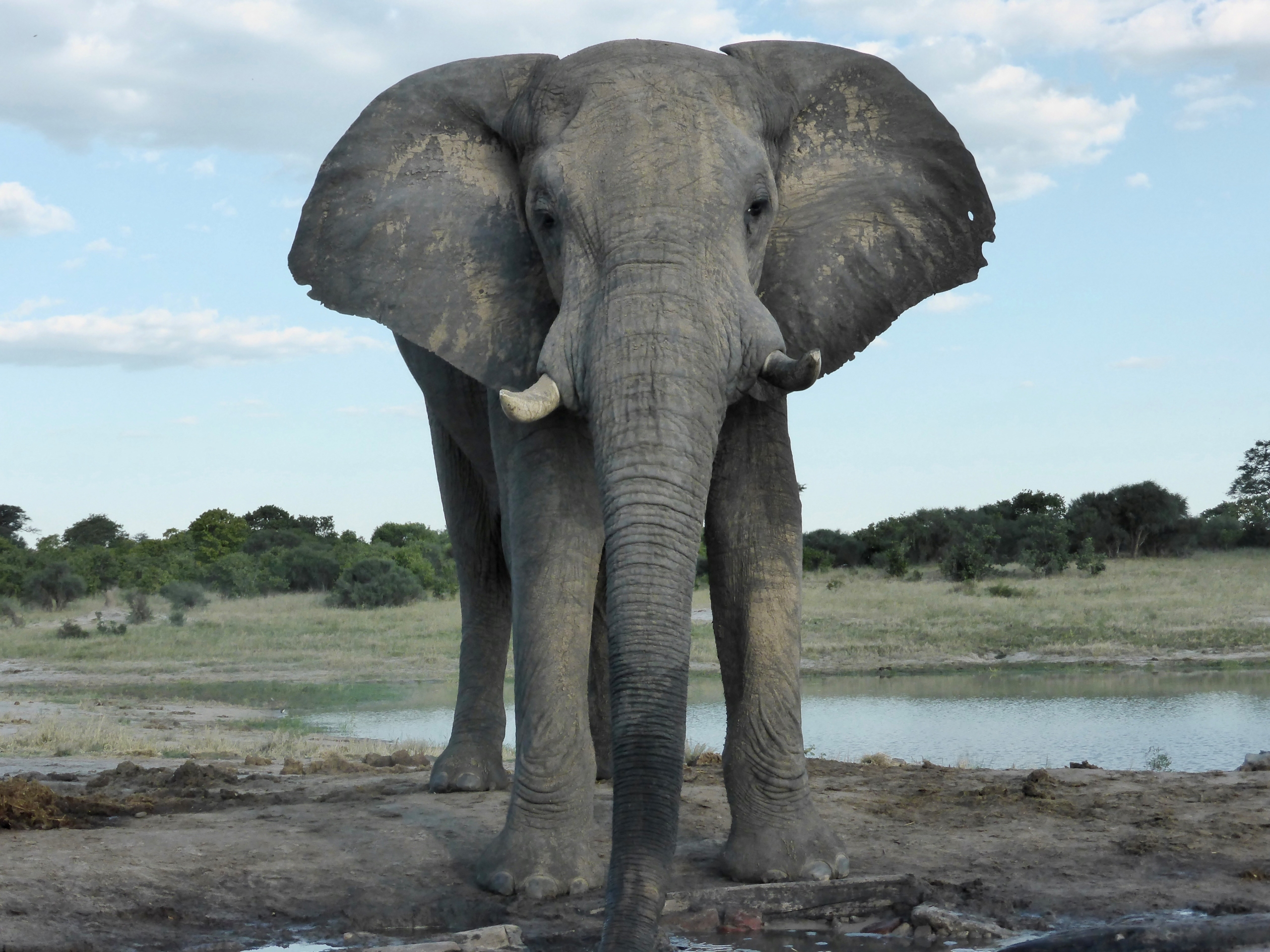 Elephant from the Look up hide at Jozibanini, Hwange NP