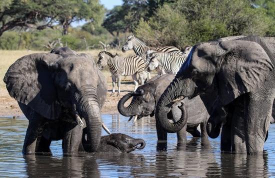 Elephant in Hwange