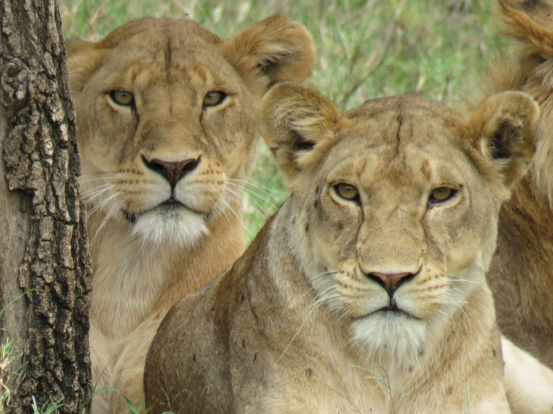 Lionesses in the Serengeti