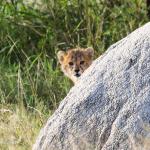 Cindy's cheetah cub near Bomani, Hwange NP