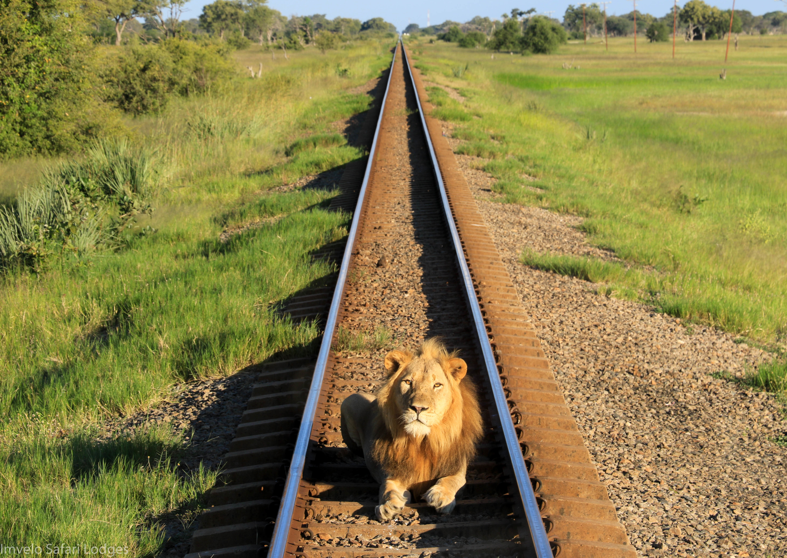 Lion on the line, stops the Elephant Express, Hwange NP