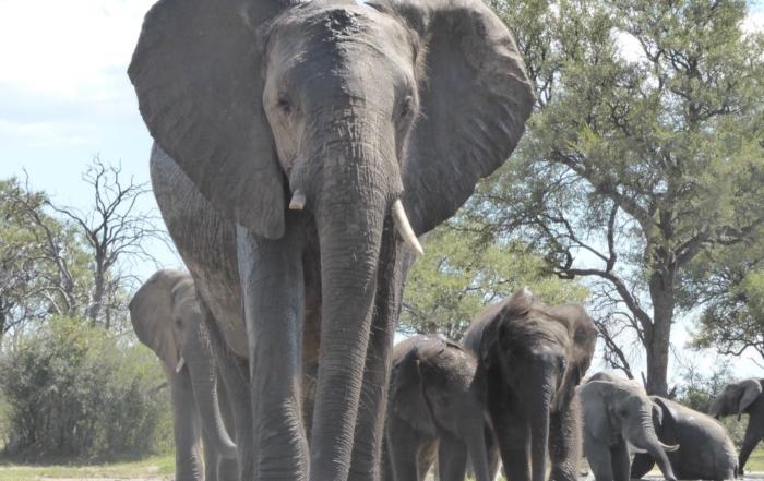 Camelthorn Elephant