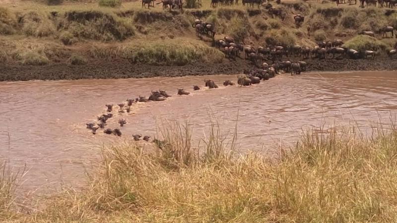 Wildebeest Crossing Serengeti/Mara